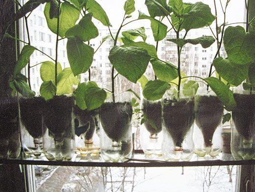 фото: выращивание огурцов в пластиковых бутылках