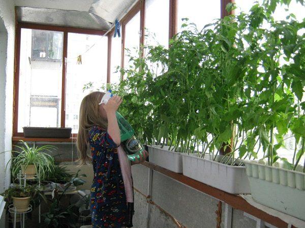 фото: томаты для выращивания на балконе