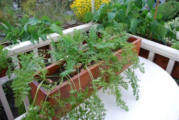 фото: морковь на балконе