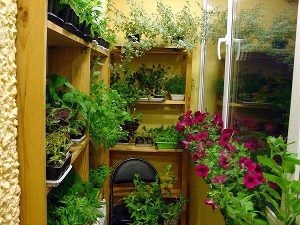 фото: выращивание рассады на балконе