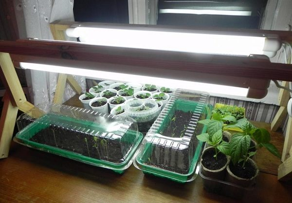 фото: выращивание рассады на балконе под лампой
