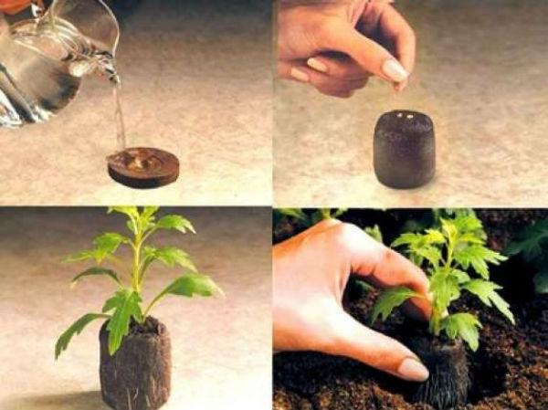 фото: выращивание рассады перца в торфяных таблетках