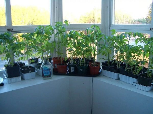 фото: рассада помидоров на лоджии