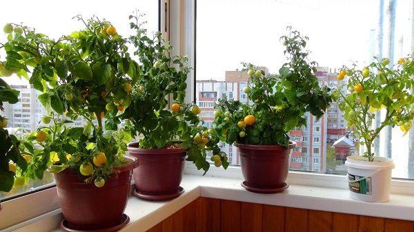фото: помидоры в цветочных горшках