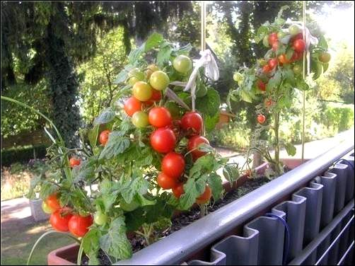 помидоры на не застекленном балконе
