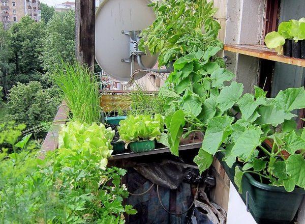 свежие овощи на открытом балконе