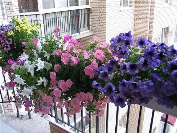 фото: Петунии ампельные на балконе