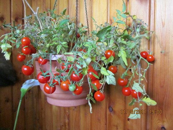 фото: помидоры на балконе