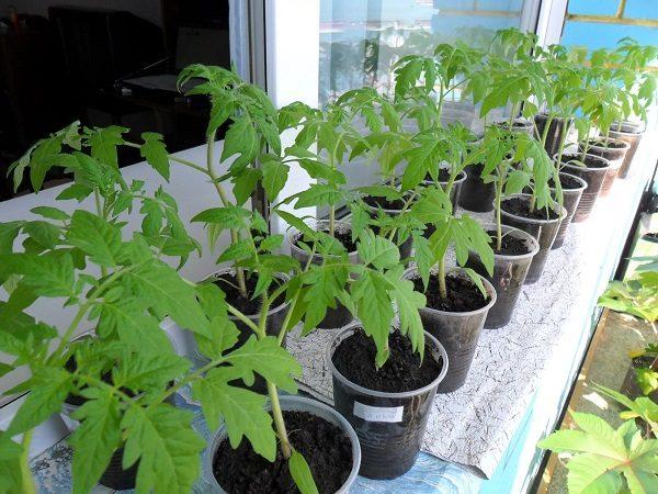рассада помидоров на балконе