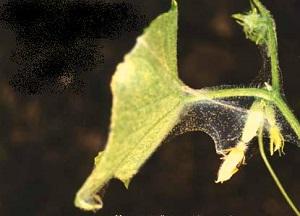 поражение огурцов паутинным клещом