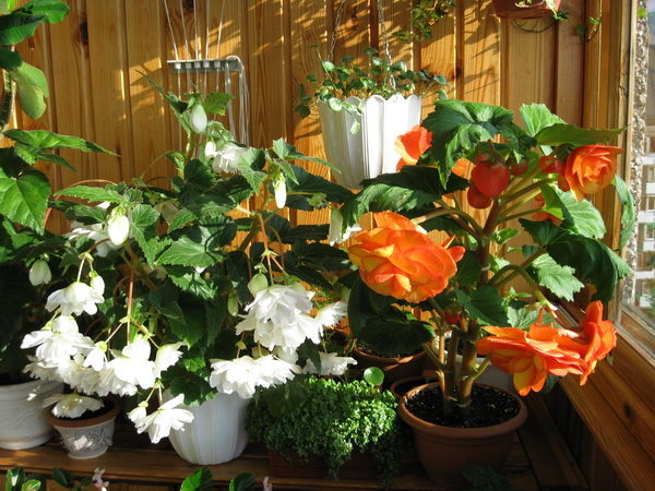 Какие цветы можно выращивать на балконе солнечная сторона?