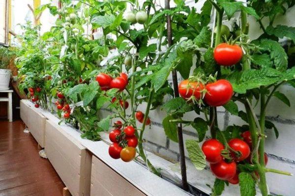 фото: Какие овощи можно выращивать на балконе