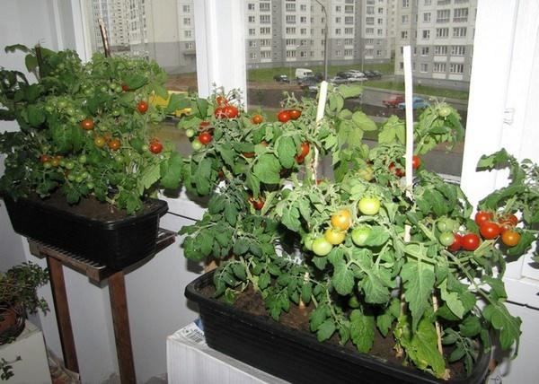 как вырастить помидоры на балконе в домашних условиях