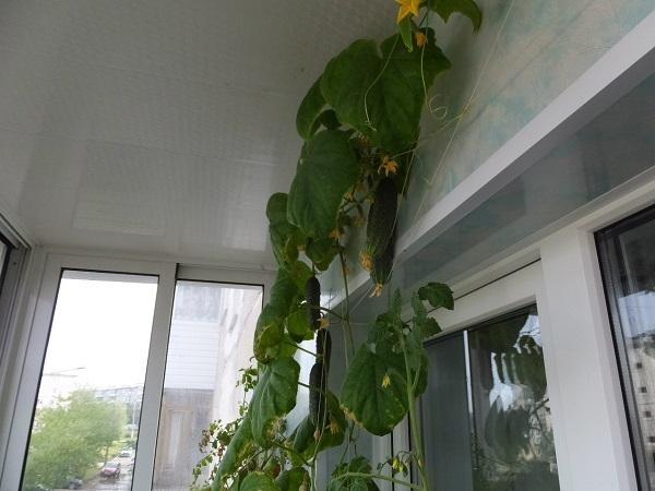 фото: выращиваем огурцы на балконе