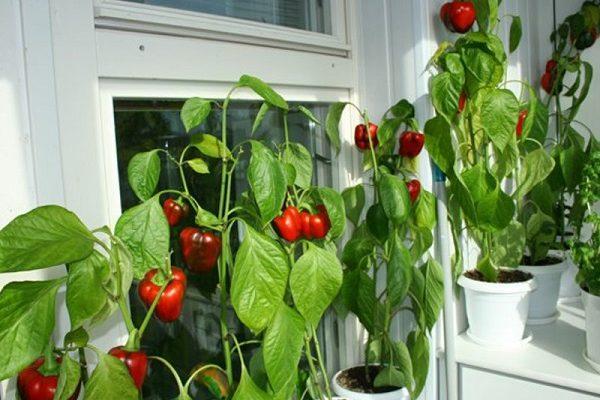 фото: перец на балконе