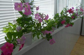 фото: петунии на балконе