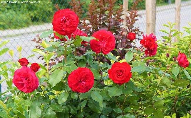 Rouge Meilove роза флорибунда