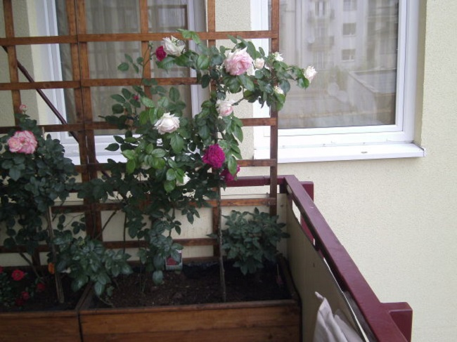 плетистые розы на открытом балконе