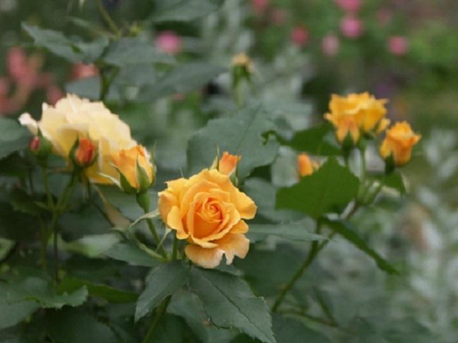 Apricot Meilove роза