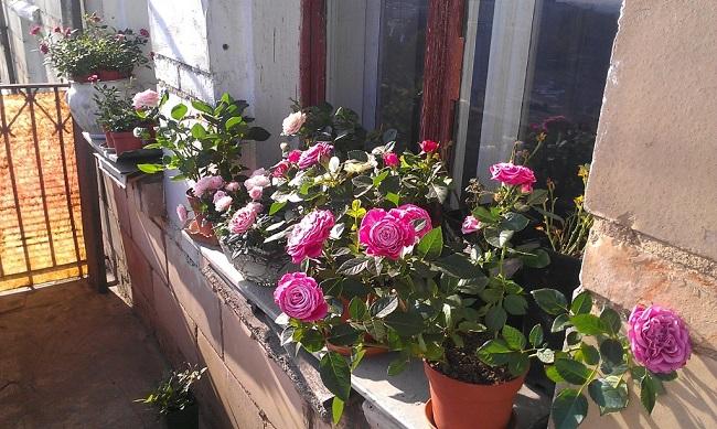 розы на открытом балконе