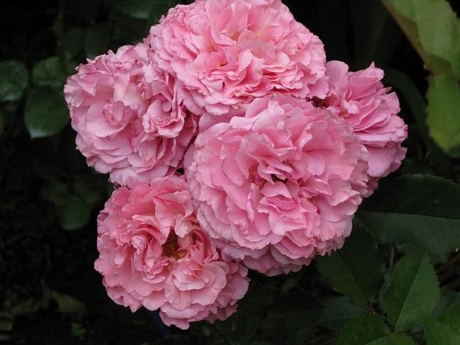 роза Gateaway