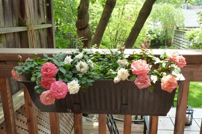 розы в подвесных горшках