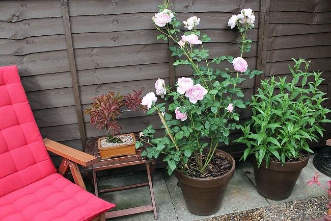 уход за розамив горшке в домашних условиях