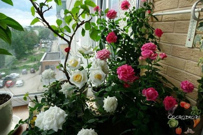 плетистая роза на балконе
