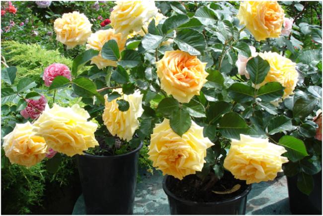 чайно гибридная роза на балконе