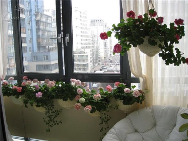 розы в подвесных горшках на балконе