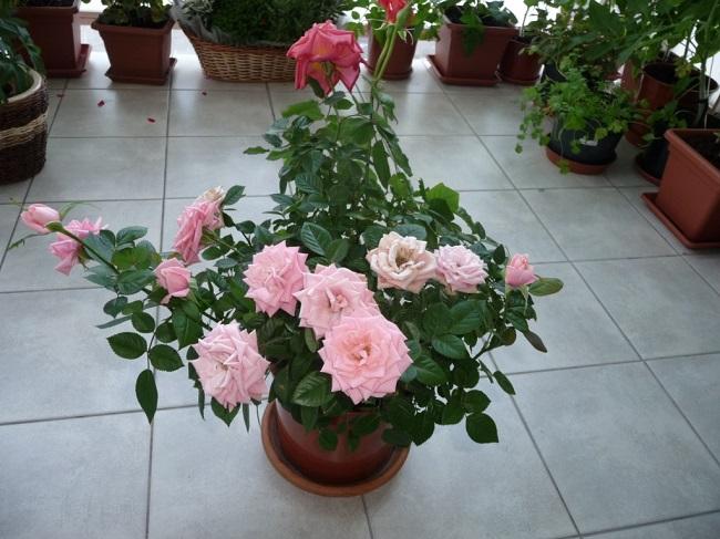 сорта роз для выращивания на балконе