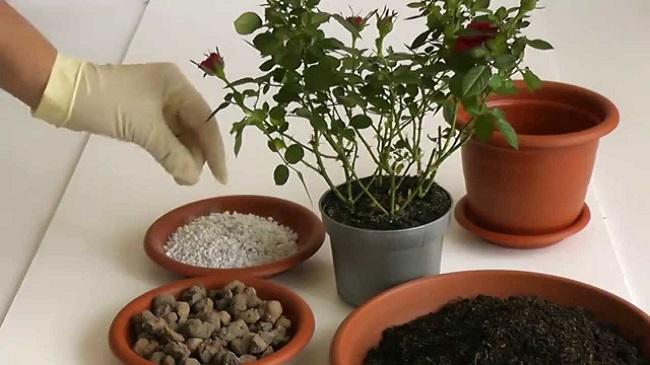 порядок высаживания розы в горшок
