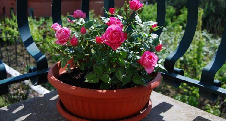 розы в горшке на балконе