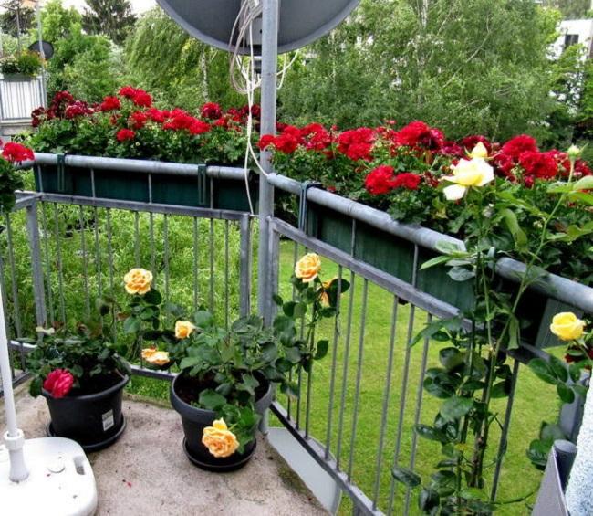 горшки для роз на балконе