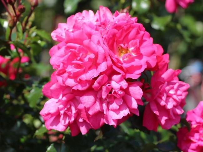 Роза почвопокровная Heidetraum