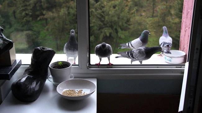 голуби кормятся на балконе