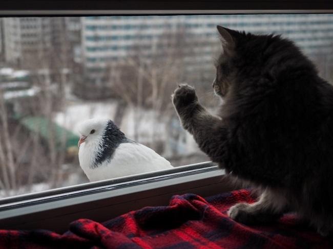кошка от голубей на балконе