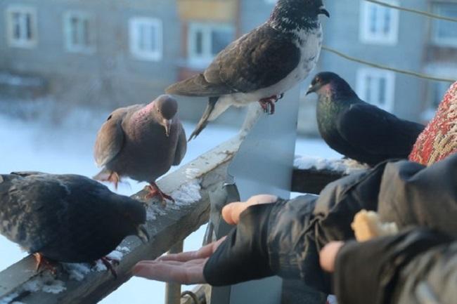 прикормка голубей на балконе
