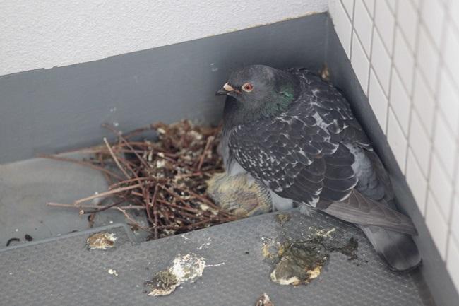 голуби вьют гнезда на балконе